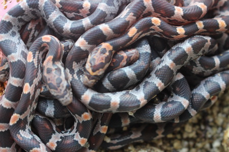 Pile of baby corn snakes that just hatched out of egg