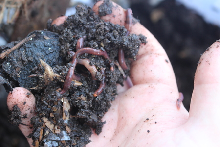 Earthworm farm is turning the organic kitchen waste into nutrient-rich fertilizer. Worm farming vermiculture is done by gardeners who keep earthworms to provide themselves with the rich vermicompost
