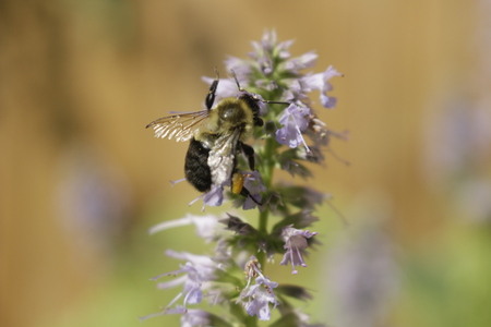 honey bee pollinating a licorice mint plant. Licorice mint is used for medicinal and other teas..