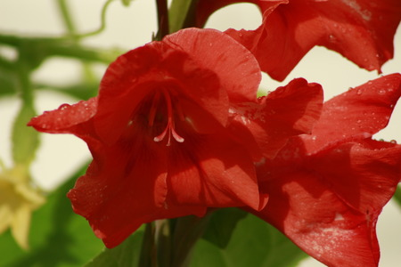 Garden with blooming red gladiolus flowers. beautiful red