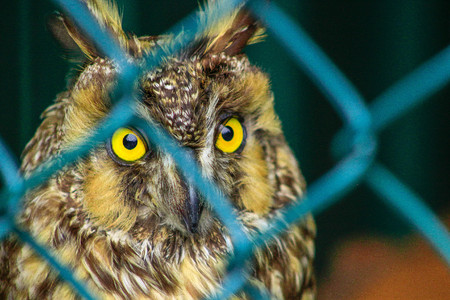 Long-eared owl, Asio otus, Wildlife bird. Bird is behind a chain link fence, concept of animals in captivity