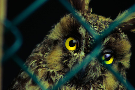 Long-eared owl, Asio otus, Wildlife bird. Bird is behind a chain link fence, concept of animals in captivity Banque d'images - 107872361