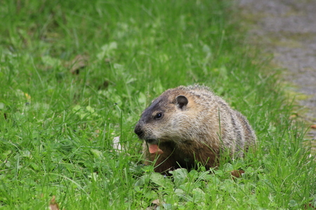 The Ground Hog. The ground hog is an early indicator of Springtime.