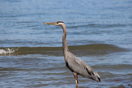 Great blue heron on a sunny day in Vancouver