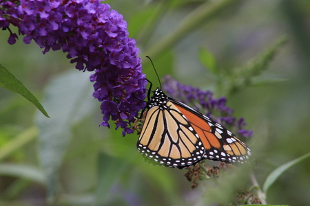 Monarch butterfly Danaus plexippus feeding on purple butterfly bush flowers, ventral view. Copy space.