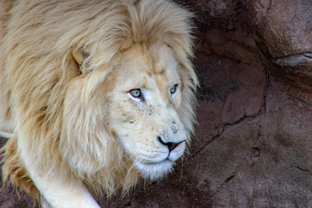 Male white lion - The Latin name of Panthera leo krugeri is not limited to white lions. It applies to all South African lion subspecies.