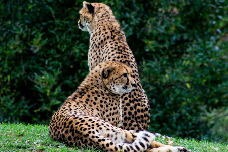 Coouple of cheetahs have a rest in green grass