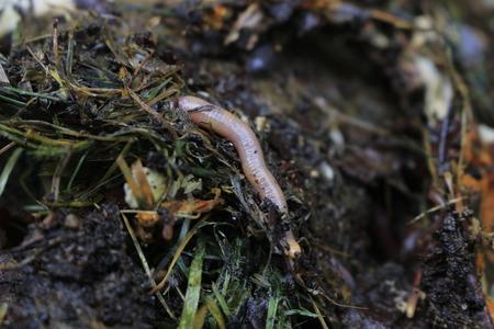 macroshot of earthworms in soil Eisenia fetida Banque d'images - 114008141