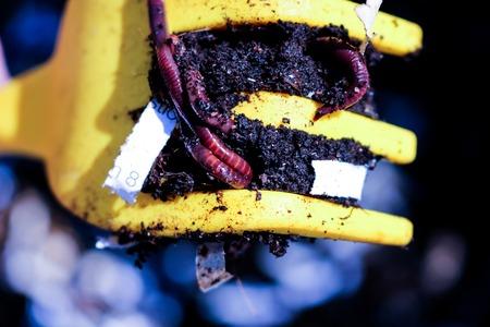 Vermi rossi, Dendrobena Veneta, verme comune del compost in un pi giallo