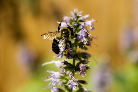 honey bee pollinating a licorice mint plant. Licorice mint is us