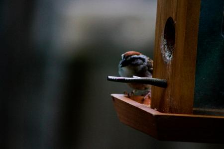 house sparrow with suet pellet in bill on bird feeder. Passer do