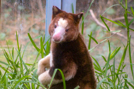 Native of Papua New Guinea, close up of a captive Matschies Tree-kangaroo at the zoo. Also known as a Huon tree-kangaroo. Toronto, Ontario, Canada. Stock Photo