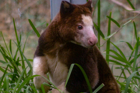 Native of Papua New Guinea, close up of a captive Matschie's Tree-kangaroo at the zoo. Also known as a Huon tree-kangaroo. Toronto, Ontario, Canada.
