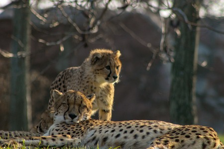 cheetah cubs laying togehter with their family. the cheetah is k 版權商用圖片 - 119275158