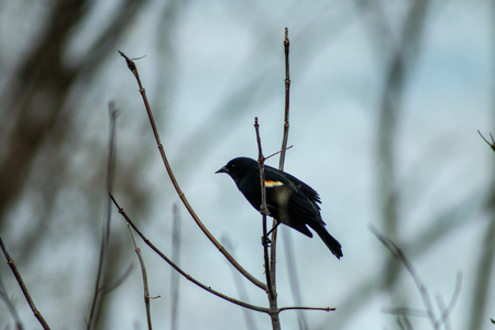 Red-winged Blackbird, male, perched in a tree