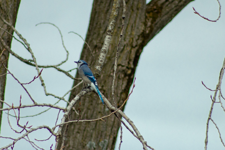 A Blue Jay (Cyanocitta cristata) sitting a tree in winter. shot in Southern Ontario.