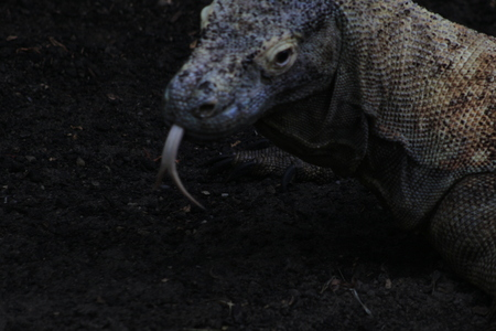 Komodo dragon Varanus komodoensis with the forked tongue sniff air. Biggest in the world living lizard in natural habitat. Island Rinca. Indonesia.