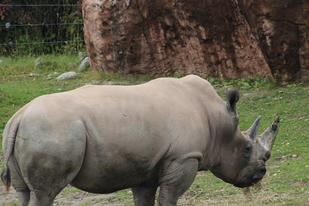 Rhino standing in the tall, dry grass with birds on his back