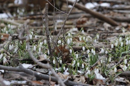 Spring snowdrop flowers blooming in sunny day. Shallow depth of field Stock Photo