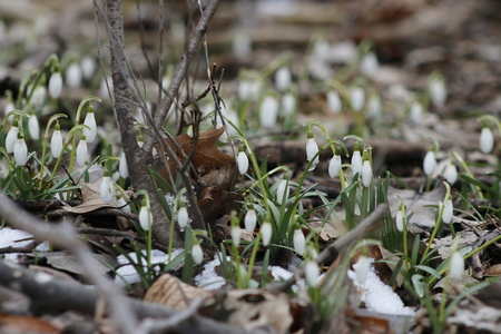 Spring snowdrop flowers blooming in sunny day. Shallow depth of field Stok Fotoğraf