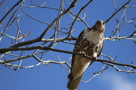 Red-Tailed Hawk Perched in Trees in canada