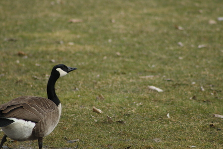 The Canada goose is a large wild goose species with a black head and neck, white cheeks, white under its chin, and a brown body. Native to arctic and temperate regions of North America..
