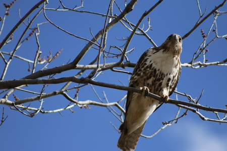 Red-Tailed Hawk Perched in Trees