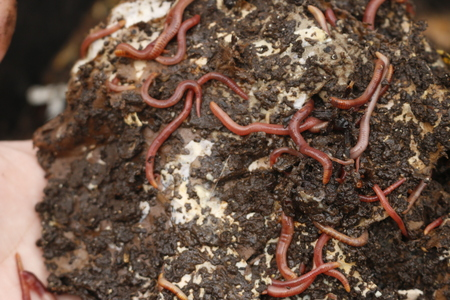 Red worms in compost or manure. Live bait for fishing.