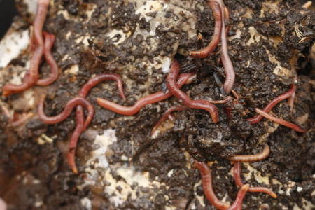 Red worms in compost or manure. Live bait for fishing. Standard-Bild