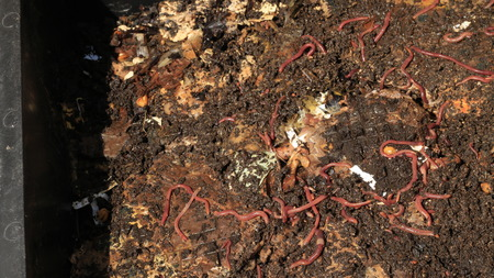 red worms in compost - bait for fishing 免版税图像
