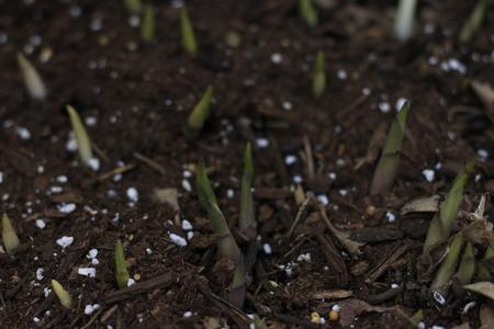 Hosta sprouts at spring after rain Reklamní fotografie