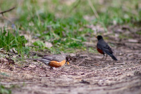 Two American Robins in Field of Wildflowers.