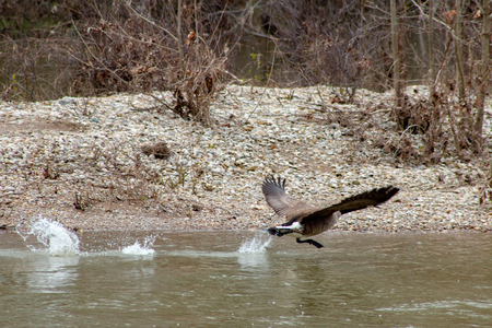 Canada Goose Taking Off From a River.