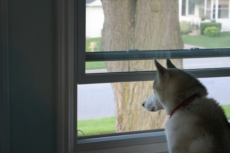 Dog Looking Out a Window, Waiting for his Human to Come Home.