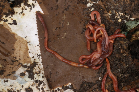 red worms in compost - bait for fishing.