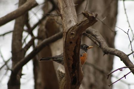 American Robin (Turdus migratorius) - Victoria BC, Canada.