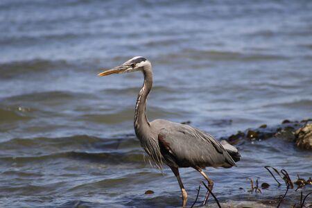 Great Blue Heron Ardea Herodias - Fort Myers Beach, Florida. Standard-Bild