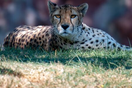 female cheetah laying down in grass after big chase Reklamní fotografie