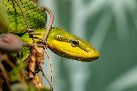 Red tailed Green Rat snake. With the body curled up