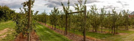 Apple orchard panoramic photograph in Ontario Canada, Apples are a large Canadian agriculture product