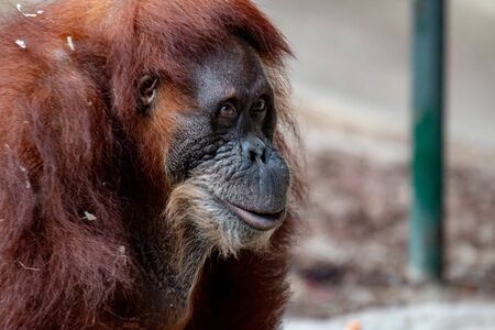 A Female Orangutan. Look at me, I am beautiful - Portrait of a female orangutan. Stock Photo