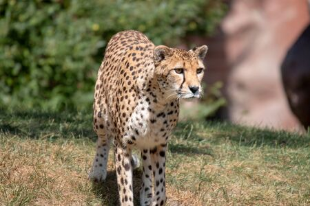 Female Cheetah. A beautiful, amber-eyed, female cheetah from the Masai Mara in Kenya. Sitting on an old termite mound looking for prey
