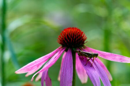 Grasshopper on coneflower. Cute red-legged grasshopper resting on top of a cone flower, beautiful shades of pink, purple, orange and green, great nature or.