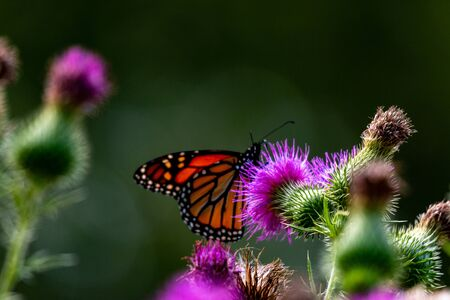 Monarch on Thistle. A large monarch butterfly on purple thistle. Monarch butterflies are endangered species.