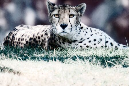 digital manipulated photo of a cheetah