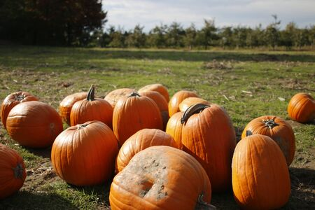 orange pumpkins at outdoor farmer market. pumpkin patch. Copy space for your text. Stock Photo
