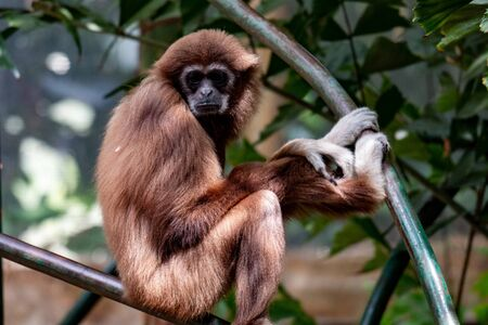 Gibbon monkey. Hanging on three, very cute primate species