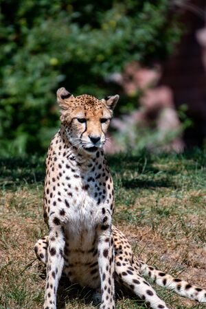 Sitting cheetah in Africa. Sitting cheetah in wild bush in South Africa. Imagens