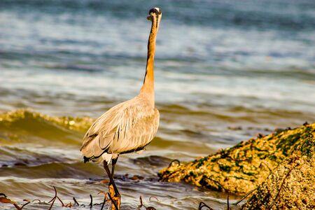 Great Blue Heron Ardea herodias - Fort Myers Beach, Florida.