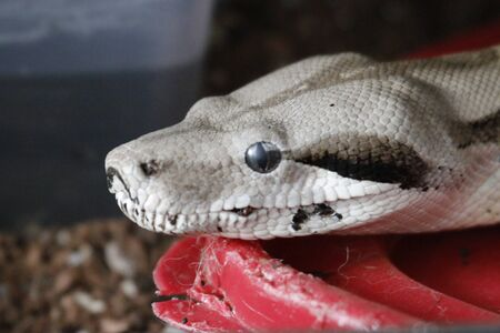 Boa Constrictor. Common Boa Constrictor found throughout Central America and Costa Rica.